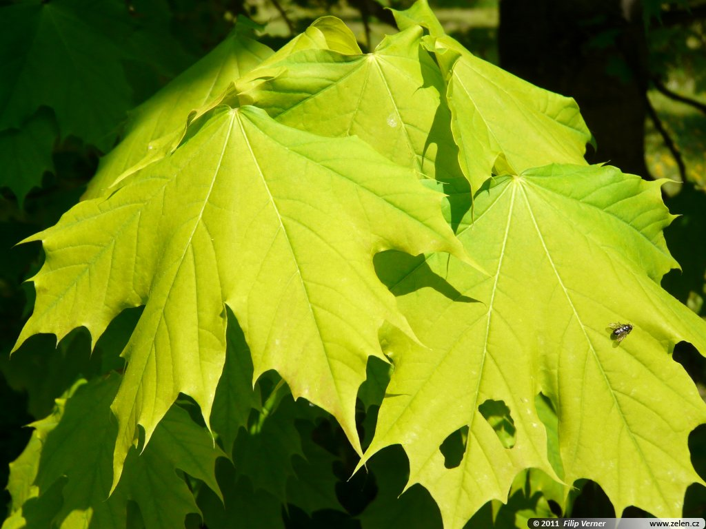 Columnar Norway Maple - Acer platanoides 'Columnare'